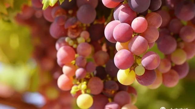 惠农小课堂:改善葡萄大小粒