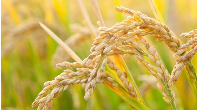 2000多亩水稻田,大户为啥抢着种?——重庆农业大区的春耕新事