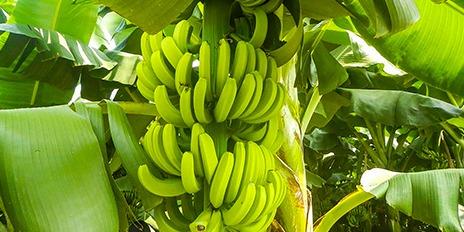 464X232 香蕉