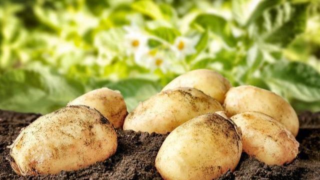 土豆旺长要不得,全丰调控有妙招