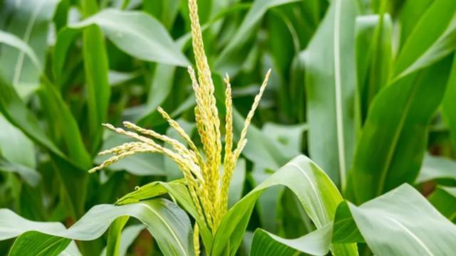 玉米控旺用什么,看看这个方法好不好