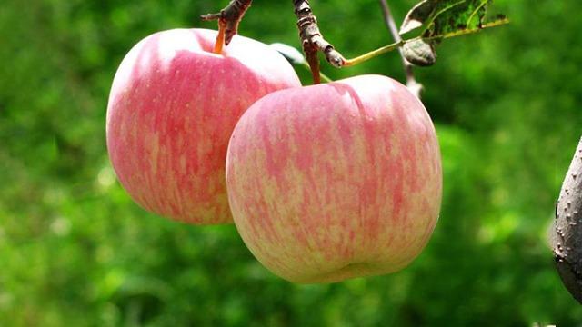 苹果控旺方法有哪些?保花保果用什么?