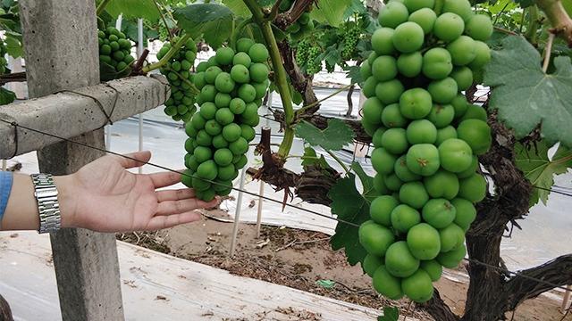 如何让葡萄果型好,颗粒大小更均匀呢?