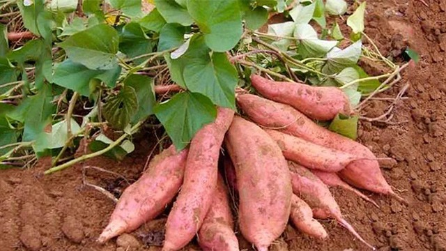 红薯提质增产什么办法好?