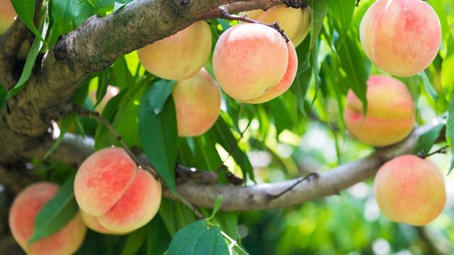 桃提质增糖促转色哪些事儿