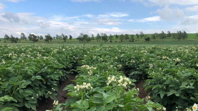 马铃薯栽培管理技术要点--种植管理