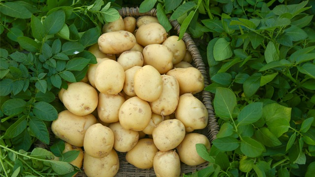 马铃薯管理技术--幼苗期和苗期
