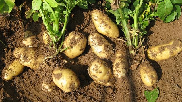 马铃薯增产关键期原来还可以这样管理