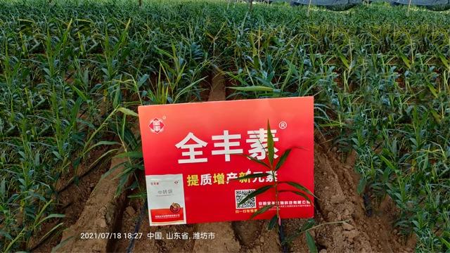 大姜培土管理