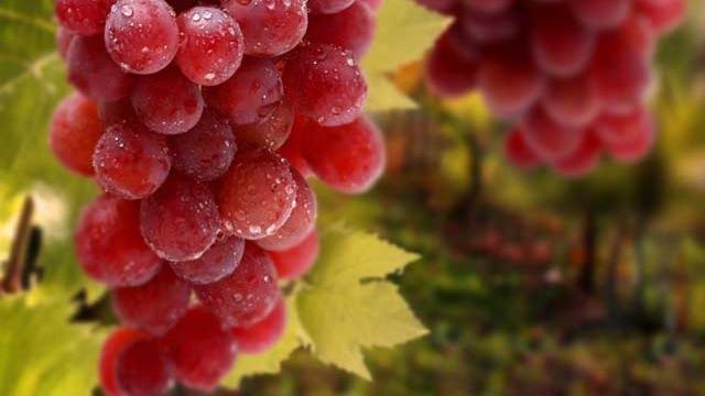 葡萄膨果期的管理要点