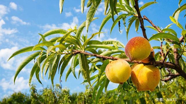 桃树控旺方法多,选对方法最重要