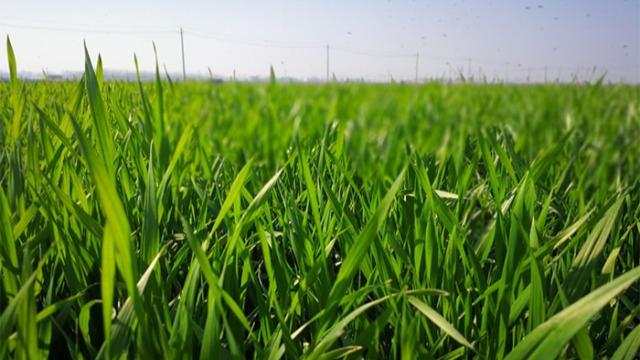 小麦矮化又抗倒,全丰矮壮素不能少