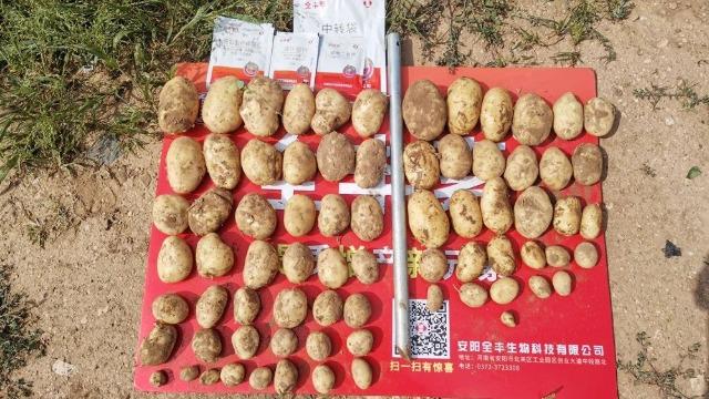 助力马铃薯提质增产我们在行动
