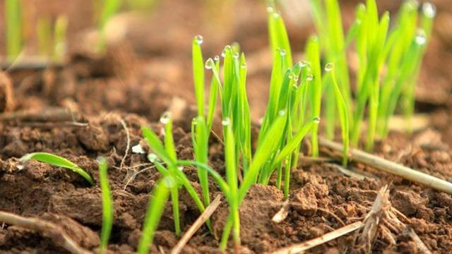 今年小麦晚播种,怎么保产量