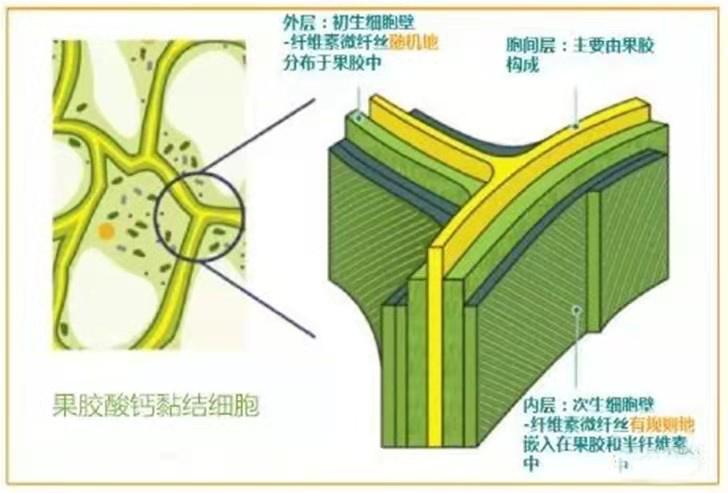 钙对果实的影响