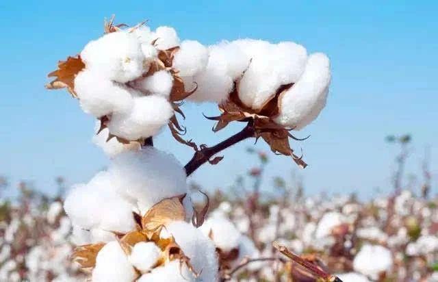 棉花增产脱叶