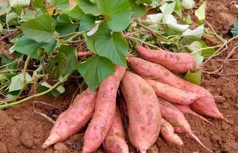红薯控旺产品怎么选