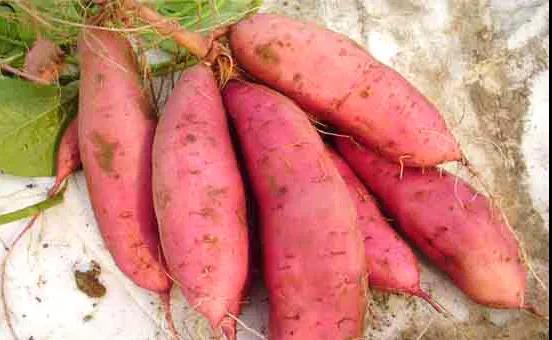 红薯增产提质