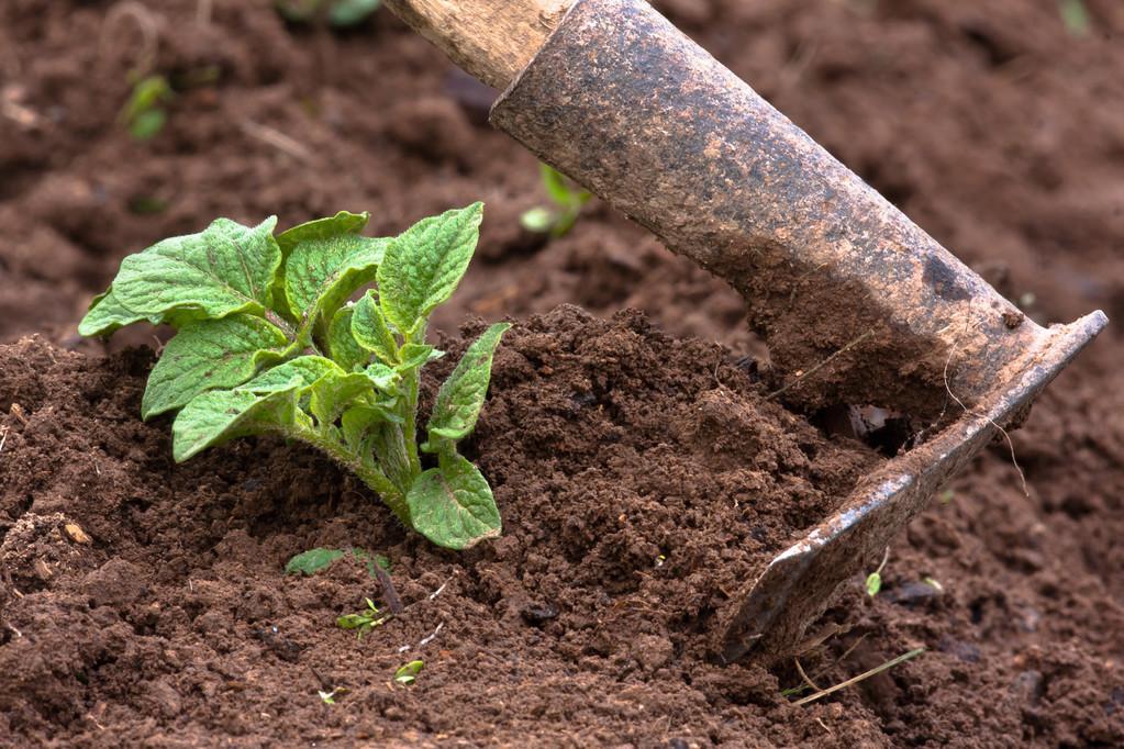 土豆苗期的管理办法