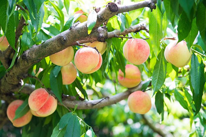 增加桃的糖度