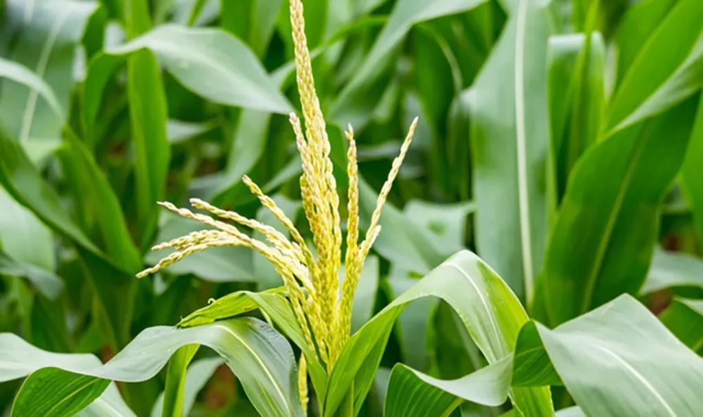 玉米控旺增产