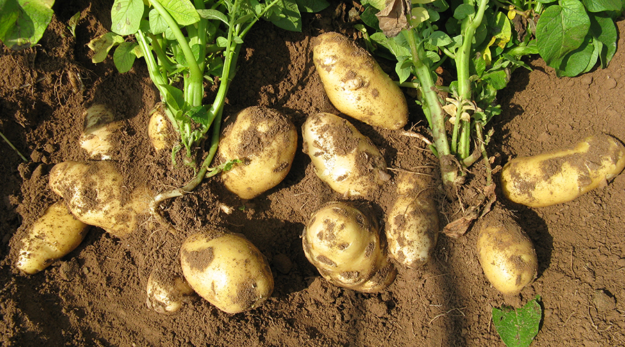 马铃薯膨大