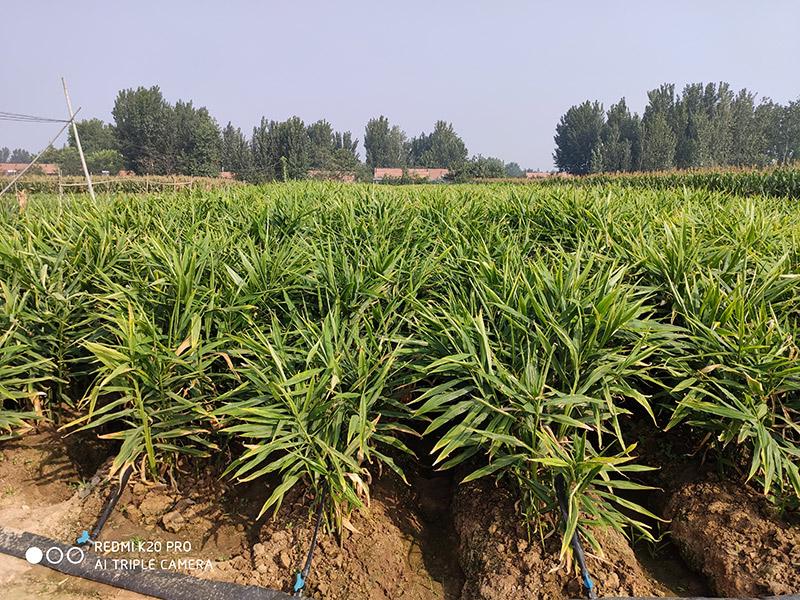 大姜种植管理